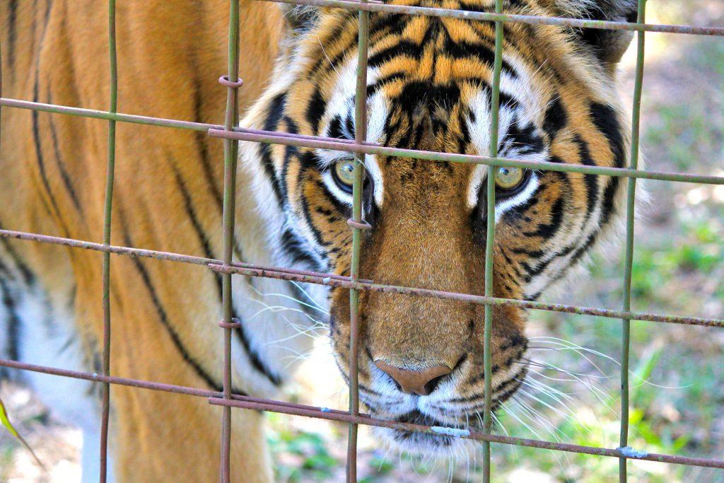 Tigre dans un enclos